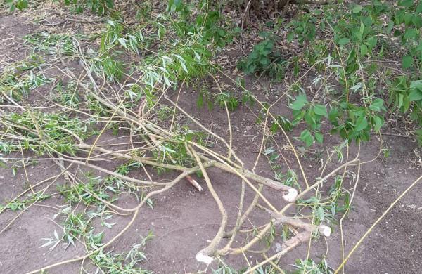 Rukliečiai: Kodėl Rukloje taip drastiškai kertami sveiki medžiai?