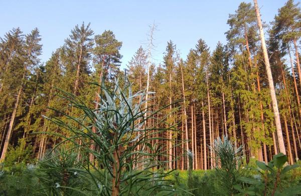 Miškininkai pradeda svarbiausius rudens darbus - želdinių saugojimą nuo gyvūnų