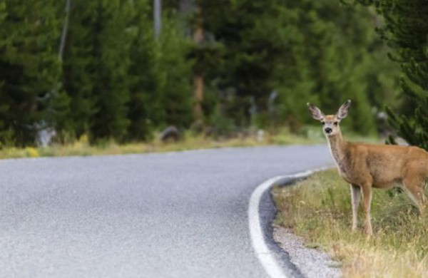 Jonavos rajono keliuose - keli susidūrimai su laukiniais gyvūnais