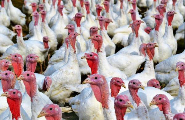Kaimyninėje Lenkijoje – dar vienas didelis paukščių gripo protrūkis