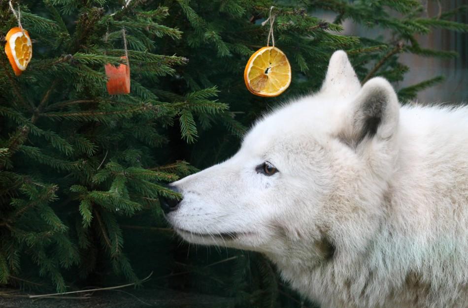 Lietuvos zoologijos sode gyvūnams pradedamos dalinti Kalėdinės dovanos