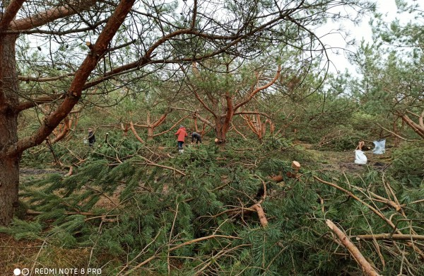 Miškininkų darbymetis: kur keliauja miškininkų surinkti kankorėžiai ir kam jie aižomi
