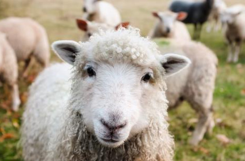 Ketinantys įsigyti veislinių gyvūnų kviečiami pasinaudoti valstybės parama