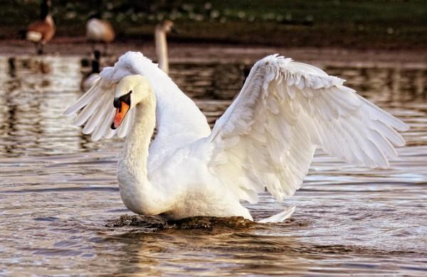 Kėdainiuose nugaišusiai gulbei patvirtintas paukščių gripas