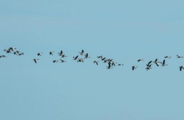 Prasidėjus pavasarinei paukščių migracijai – didėja ir paukščių gripo grėsmė