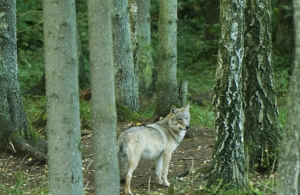 Nutrauktas vilkų medžioklės sezonas