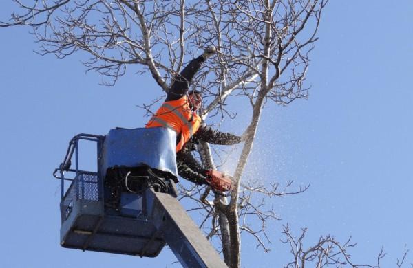 Paukščiams apsaugoti kovo 15–rugpjūčio 1 d. – draudimas kirsti ir genėti saugotinus medžius