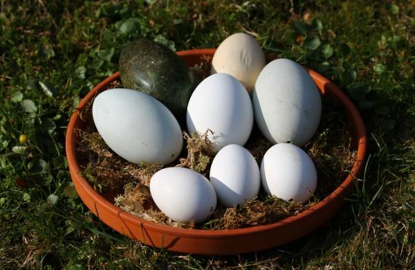 Mediniai kiaušinių muliažai – zoologijos sode ne pokštauti, o gelbėti gyvybes