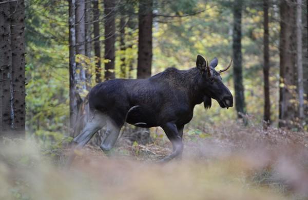 Miškininkas patarė, kaip elgtis miške sutikus laukinį žvėrį