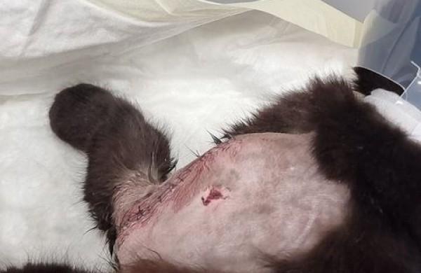 Peršautos katės savininkė perspėja kitus gyvūnų šeimininkus: saugokite savo augintinius