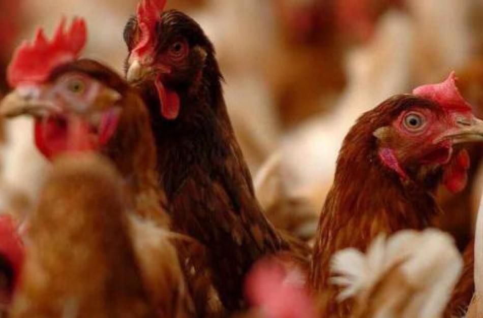 VMVT perspėja: Iš nelegalių pardavėjų įsigyti naminiai paukščiai gali virsti brangiai kainuojančia problema