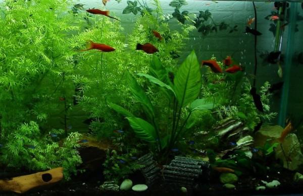 Nepirkite ir nepardavinėkite neįteisintų genetiškai modifikuotų žuvyčių