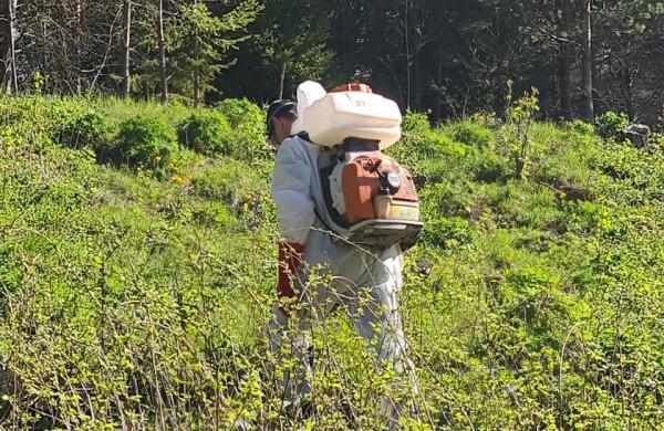 Valstybinių miškų urėdija jau pradėjo naikinti itin pavojingus invazinius augalus