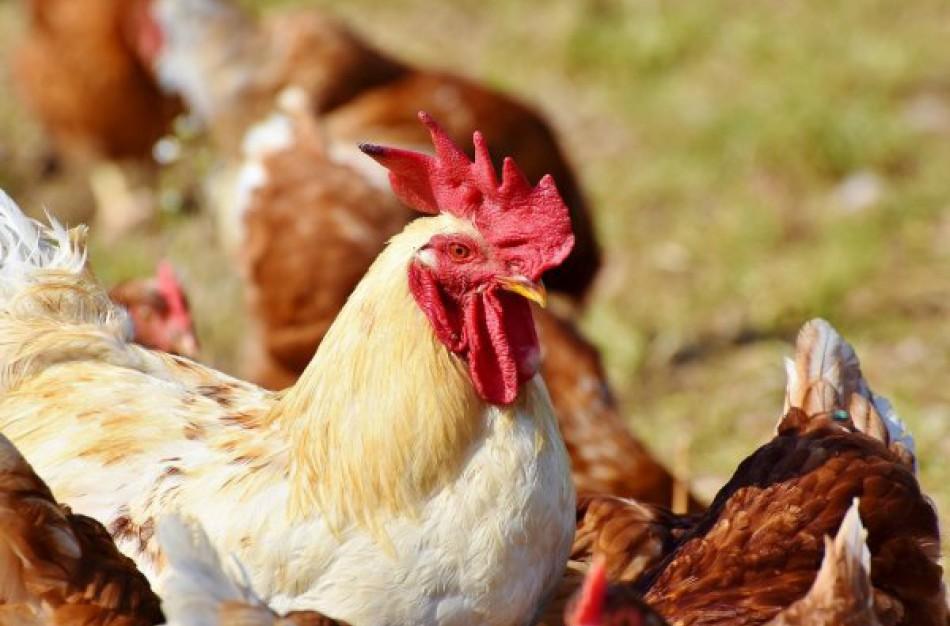 Ragožių kaime nustatytas paukščių gripas