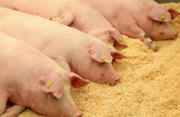 Kiaulių laikytojams bus kompensuotos įsigytos biologinio saugumo priemonės - paraiškos renkamos nuo birželio 7 d.