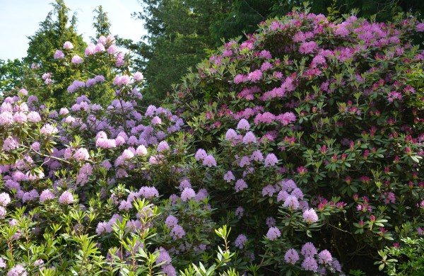 Valstybinių miškų urėdijos Dubravos arboretume jau pražydo rododendrai