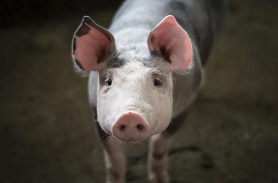 Lenkijos ūkiuose užfiksuoti afrikinio kiaulių maro židiniai