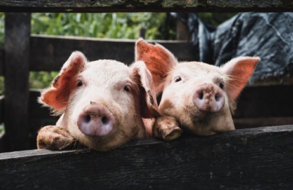 Laikyti kiaules savo reikmėms galima, tačiau gyventojai įspėjami laikytis biosaugos reikalavimų