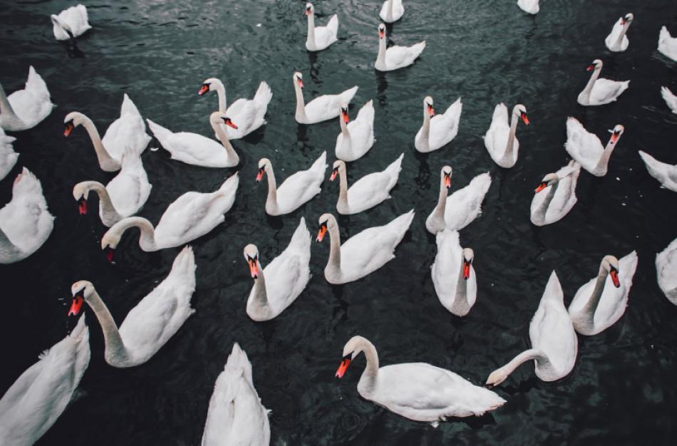 Siūloma ūkininkams kompensuoti laukinių paukščių padarytą žalą