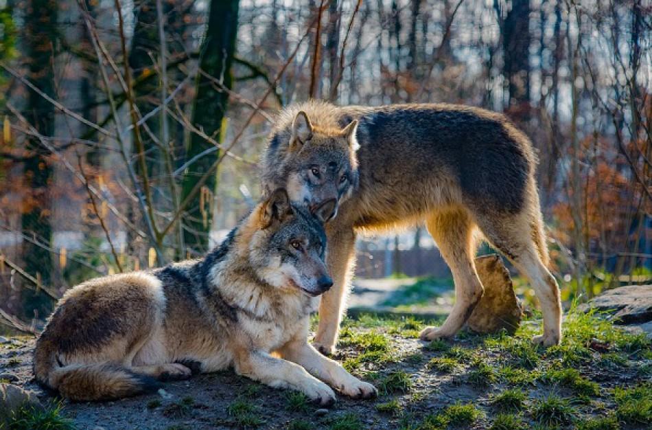 Kaip rasti kompromisą, kad ir avys būtų sveikos, ir vilkai sotūs?
