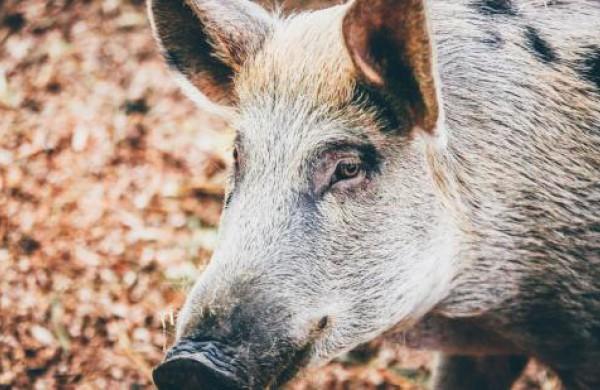 AKM virusą gali pernešti ne tik šernai, bet ir miškų lankytojai