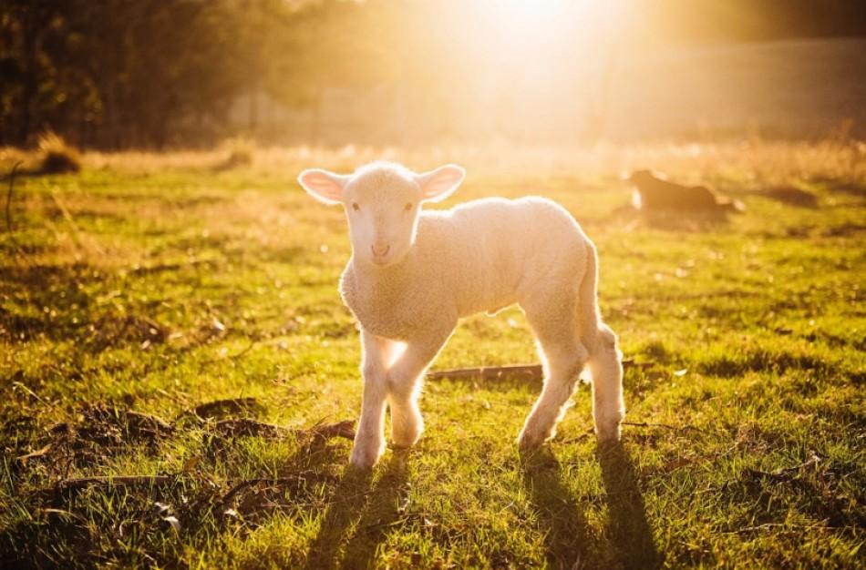 Avininkystė – ne tik mėsai, pirštinėms, bet ir statyboms