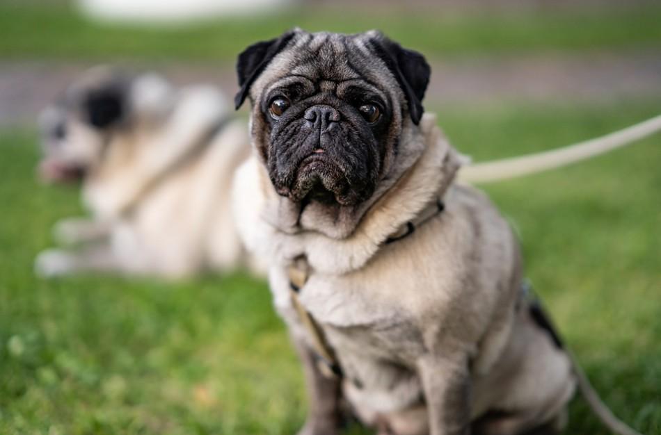 """Šuns vedžiojimas: kokių pasivaikščiojimo tipų gali būti ir ką daryti, kad šuo """"neištrauktų"""" rankų?"""