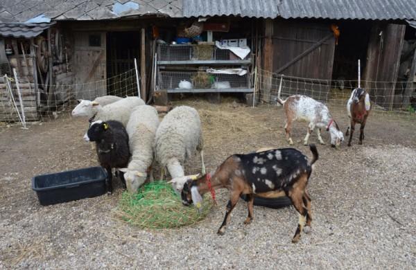Atsisakiusieji kiaulių auginimo skatinami įsigyti kitus ūkinius gyvūnus