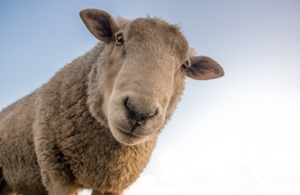 Skelbiamas pakartotinis kvietimas teikti paraiškas dėl planuojamų įsigyti veislinių gyvūnų pirkimo dalinio kompensavimo