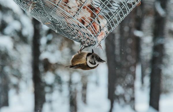 Žiemos džiaugsmas – lesyklėlė. Ką reikia apie ją žinoti?