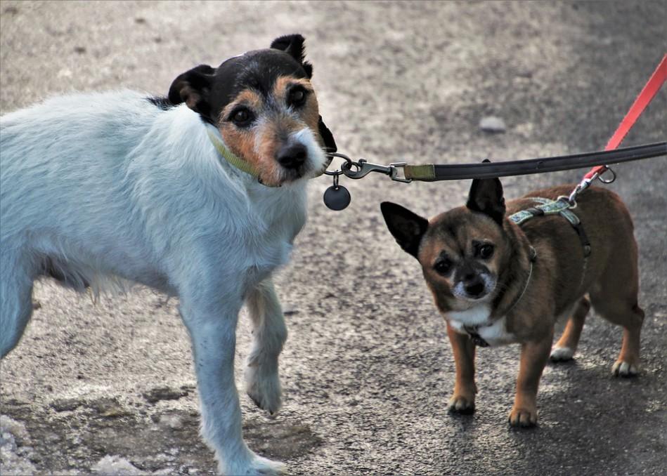 Šuns nepaklusnumas vedžiojant pavadėliu: kaip išvengti augintinio agresijos prieš kitus keturkojus?