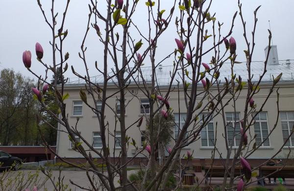 Magnolijos prie Jonavos viešosios bibliotekos.