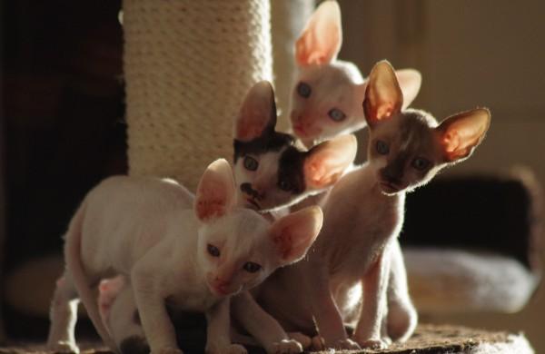 Cornishrex katės