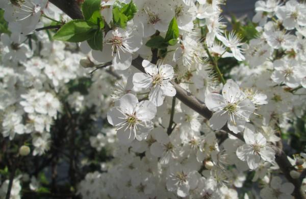 Nuostabi pavasario baltuma
