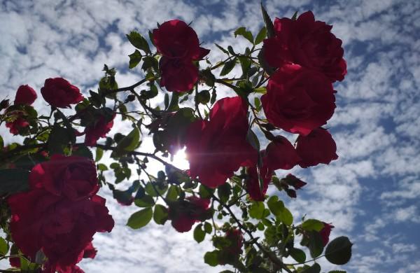 Rožių žydėjimas