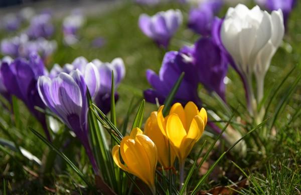 Krokų pavasaris Jonavoje