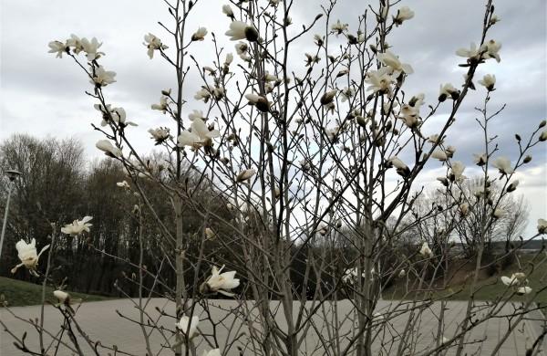 Laiptai i Rimkus. Pražydo magnolija.