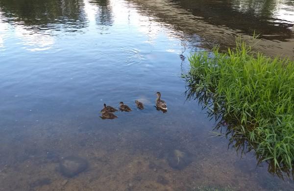 Plaukia antelė su vaikeliais.