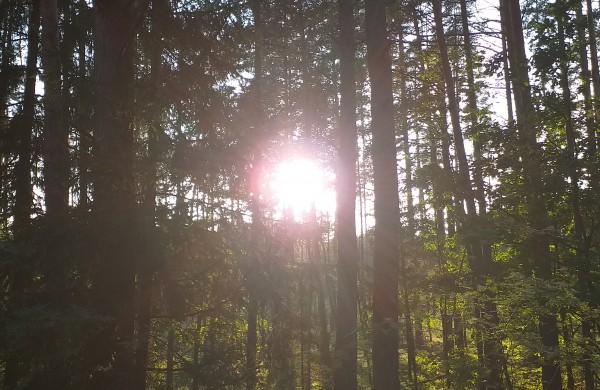 Saulė pro medžius