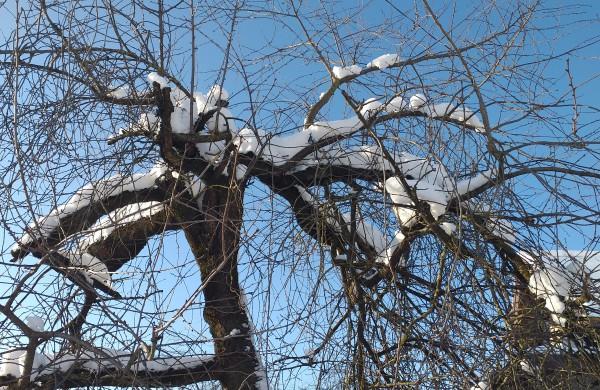 Sniegas puošia medžius.
